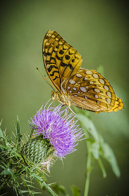 Photograph - Spangled Fritillary On Thistle by Bradley Clay