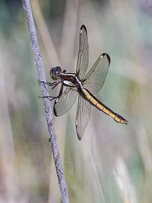 Photograph - Spangled Skimmer by Jim Zablotny