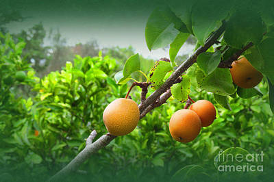 Thomas Kinkade Royalty Free Images - Spanish Asian Pears Royalty-Free Image by Tina M Wenger