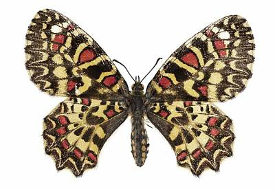 Spanish Festoon Butterfly Print by Science Photo Library