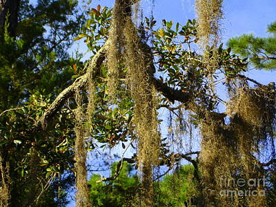 Photograph - Spanish Moss 3 by Lew Davis