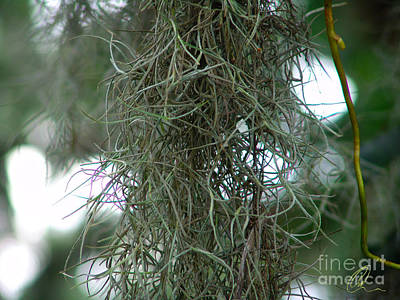 Photograph - Spanish Moss by Chris Thomas