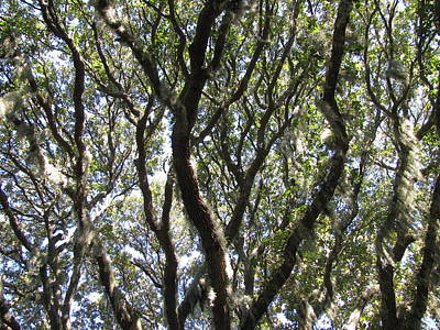 Photograph - Spanish Moss Oak by Ellen Meakin