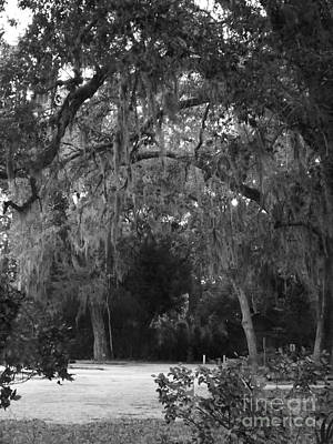 Spanish Moss Of St.augustine Art Print