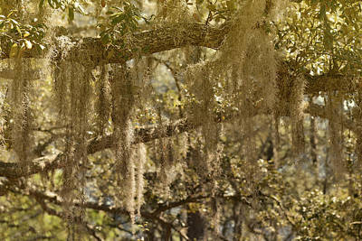 Epiphytic Photograph - Spanish Moss On Live Oaks by Christine Till