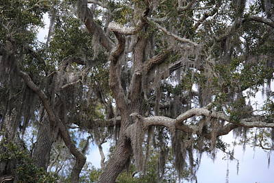 Spanish Moss On Live Oaks Art Print