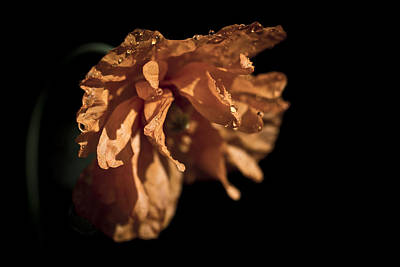 Photograph - Spanish Poppy by Priya Ghose