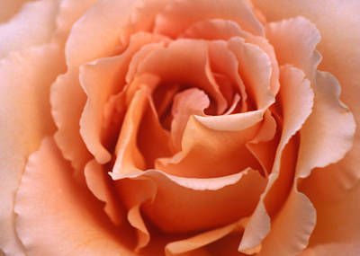 Photograph - Spanish  Rose by Etti PALITZ