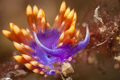 Photograph - Spanish Shawl Nudibranch by J Gregory Sherman