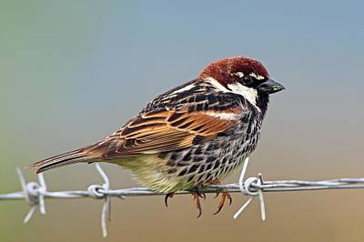 Spanish Sparrow On Barbed Wire Art Print by Bildagentur-online/mcphoto-schaef