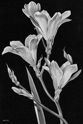 Sparaxis Flowers Art Print