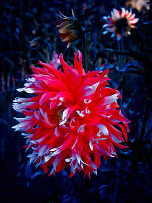 Photograph - Sparkler Dahlia by Adria Trail