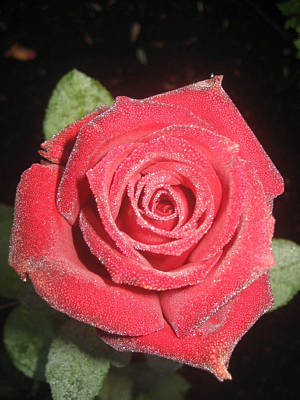Sparkling Red Rose Art Print by Celeste Tyree