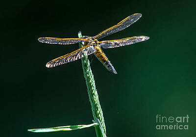 Photograph - Sparkly Dragonfly by Cheryl Baxter