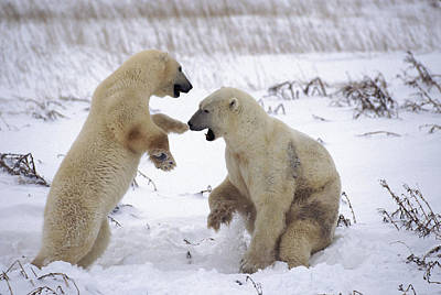 Photograph - Sparring Bears by Randy Green