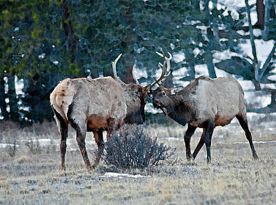 Photograph - Sparring Bull Elk by Eric Rundle