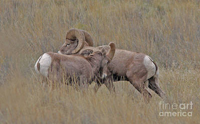 Brown Photograph - Sparring by Gary Wing