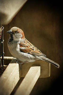 Photograph - Sparrow 10  by Susan  McMenamin