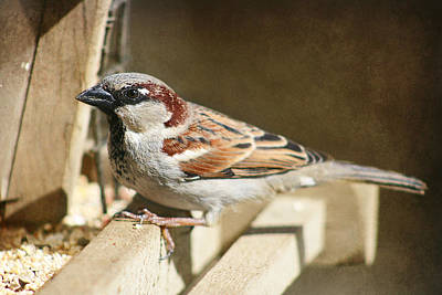 Photograph - Sparrow 11  by Susan  McMenamin