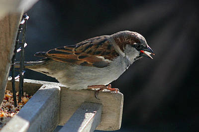 Photograph - Sparrow 6  by Susan McMenamin