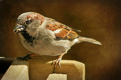 Photograph - Sparrow 7  by Susan McMenamin