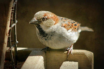 Photograph - Sparrow 9  by Susan  McMenamin