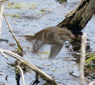 Photograph - Sparrow Blast Off by Thomas Samida