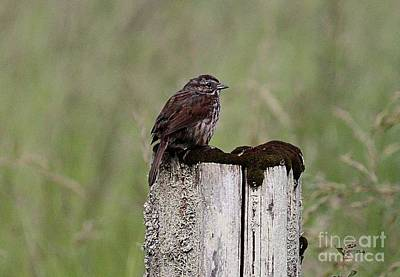 Photograph - Sparrow by Erica Hanel