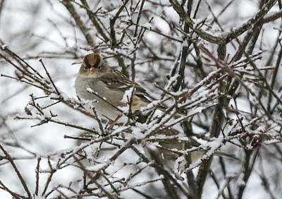 Sparrow Photograph - Sparrow In The Winter by Jan M Holden