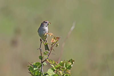Sparrow Print by Jim Nelson