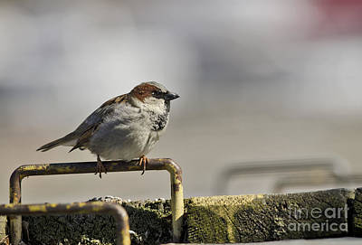 Photograph - Sparrow by JT Lewis