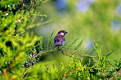 Photograph - Sparrow by Karen Adams