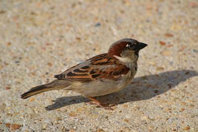 Art Print featuring the photograph Sparrow by Mary Zeman