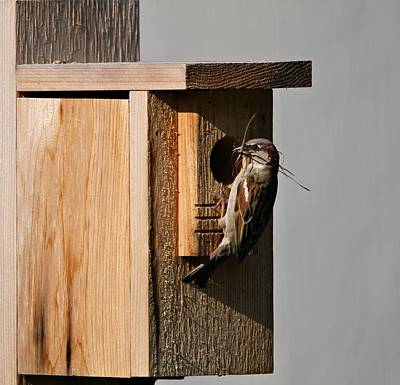 Sparrow Photograph - Sparrow Nest And Birdhouse by Dan Sproul
