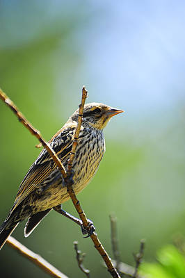 Photograph - Sparrow On A Branch by Don and Bonnie Fink