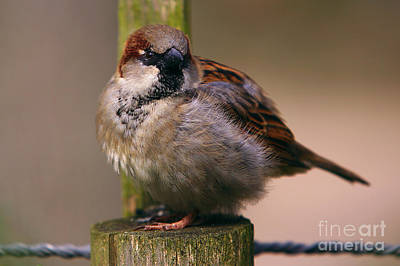 Photograph - Sparrow On A Pole by Nick  Biemans