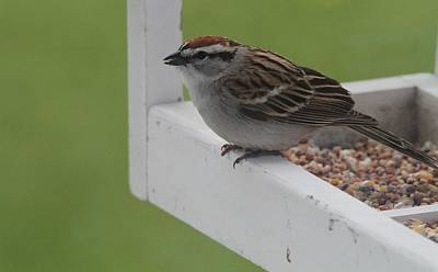 Birdseed Photograph - Sparrow On Feeder by Dan Sproul