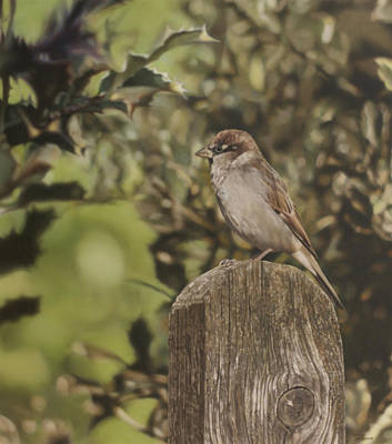 Painting - Sparrow On Fence by Alberto Ponno