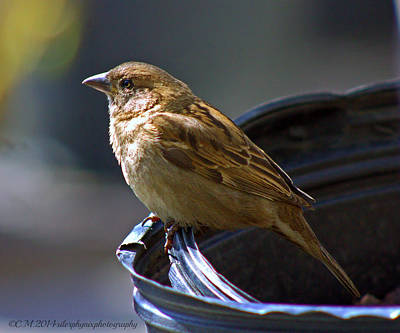 Sean Rights Managed Images - Sparrow Sentry Royalty-Free Image by Catherine Melvin