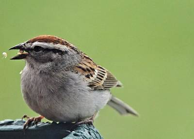 Birdseed Photograph - Sparrow Snack by Dan Sproul
