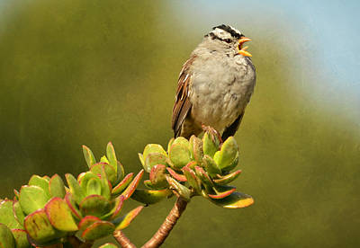 Photograph - Sparrow Song 11 by Fraida Gutovich