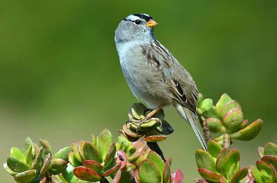 Photograph - Sparrow Song 14 by Fraida Gutovich