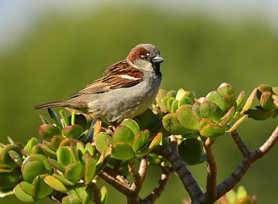 Photograph - Sparrow Song 2 by Fraida Gutovich