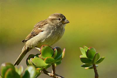 Photograph - Sparrow Song 5 by Fraida Gutovich