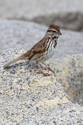 Photograph - Sparrow by Wayne Valler