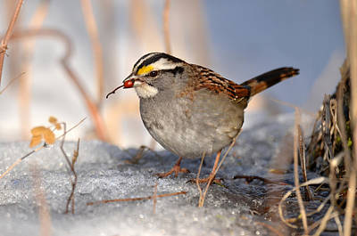 White-throated Sparrow Photograph - Sparrow With Berry by Ann Bridges