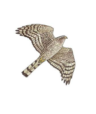 Sparrowhawk Photograph - Sparrowhawk, Artwork by Science Photo Library
