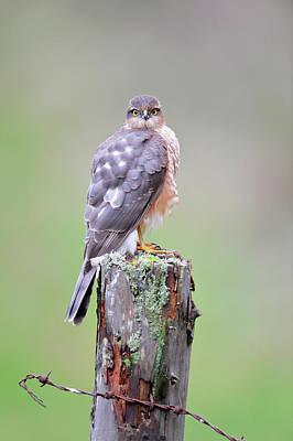 Sparrowhawk Photograph - Sparrowhawk by Dr P. Marazzi