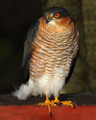 Photograph - Sparrowhawk by Gavin Macrae