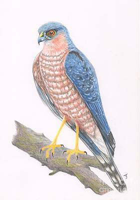 Drawing - Sparrowhawk by Yvonne Johnstone